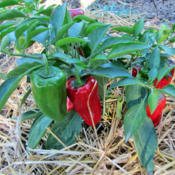 Location: My GardensDate: August 22, 2015Small Plant But Loaded With Peppers!