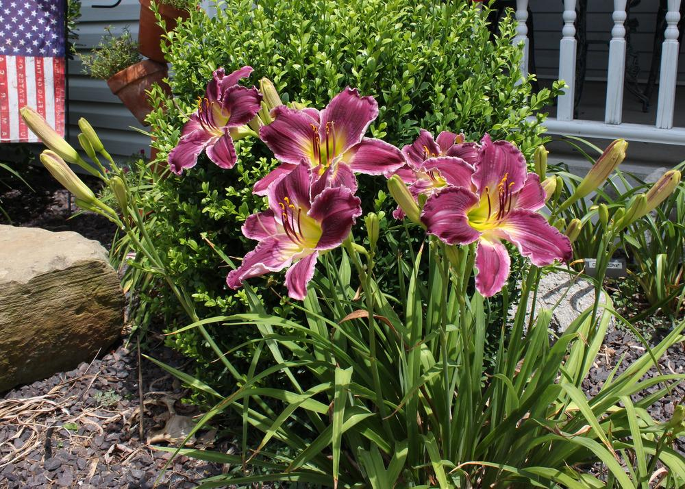 Photo of Daylily (Hemerocallis 'Indian Giver') uploaded by blue23rose