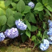 Location: 382 River Road, Pequea, PA 17565Date: June 18, 2015Hydrangea macrophylla Endless Summer The Original