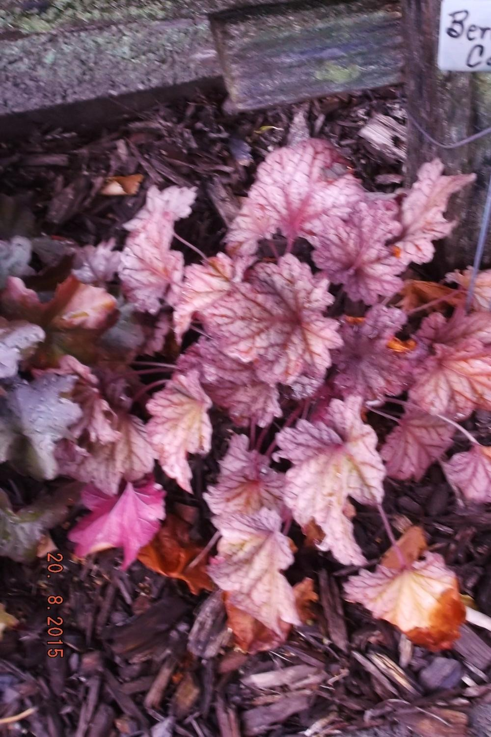 Photo of Coral Bells (Heuchera 'Berry Smoothie') uploaded by linjarvis