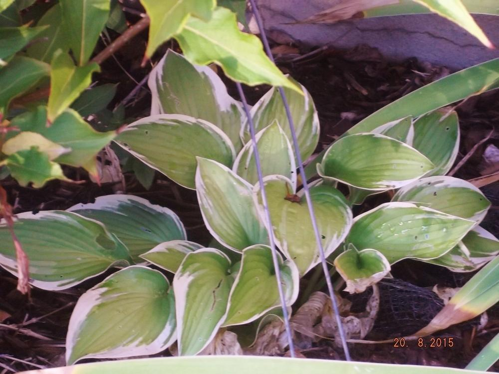 Photo of Hosta 'Twilight' uploaded by linjarvis