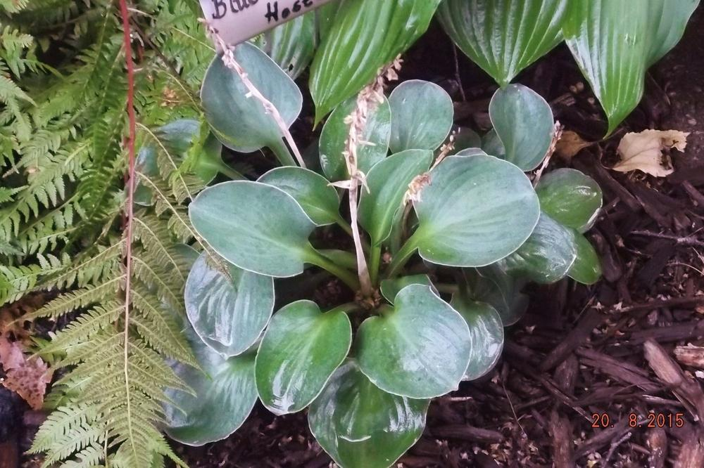 Photo of Hosta 'Blue Mouse Ears' uploaded by linjarvis
