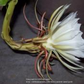 Location: Tucson, ArizonaDate: August 22, 2015Side view of the now fully open Night Blooming Cereus