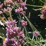 Location: MarylandDate: 2015-08-25Multiple skipper butterflies enjoying the verbena blossoms.