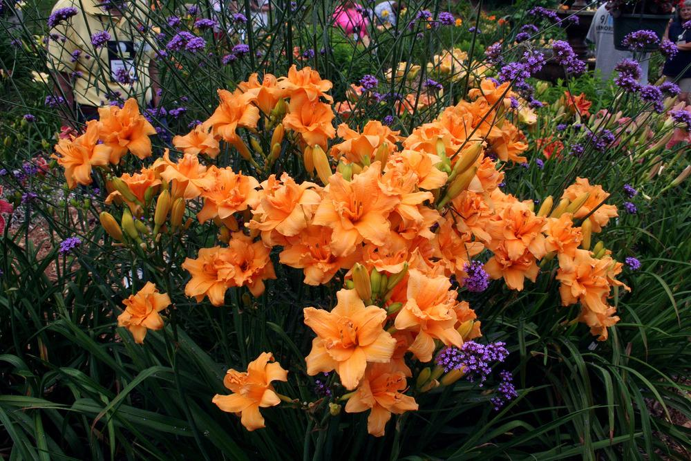 Photo of Daylily (Hemerocallis 'Zada Mae') uploaded by floota