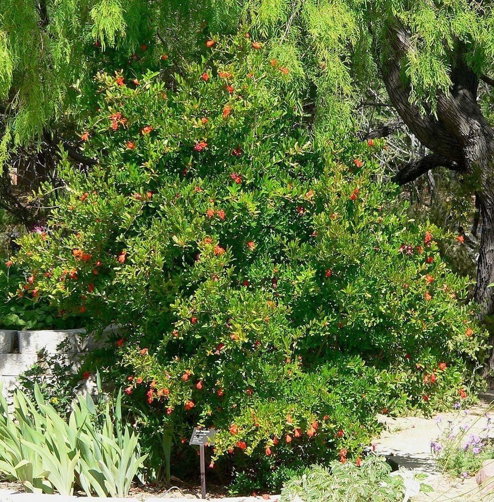 Photo of Dwarf Pomegranate (Punica granatum 'Nana') uploaded by robertduval14