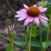 Location: sheri's healing flower garden, south east alabamaDate: 2015-08-26Coneflower has strong stalks, upright