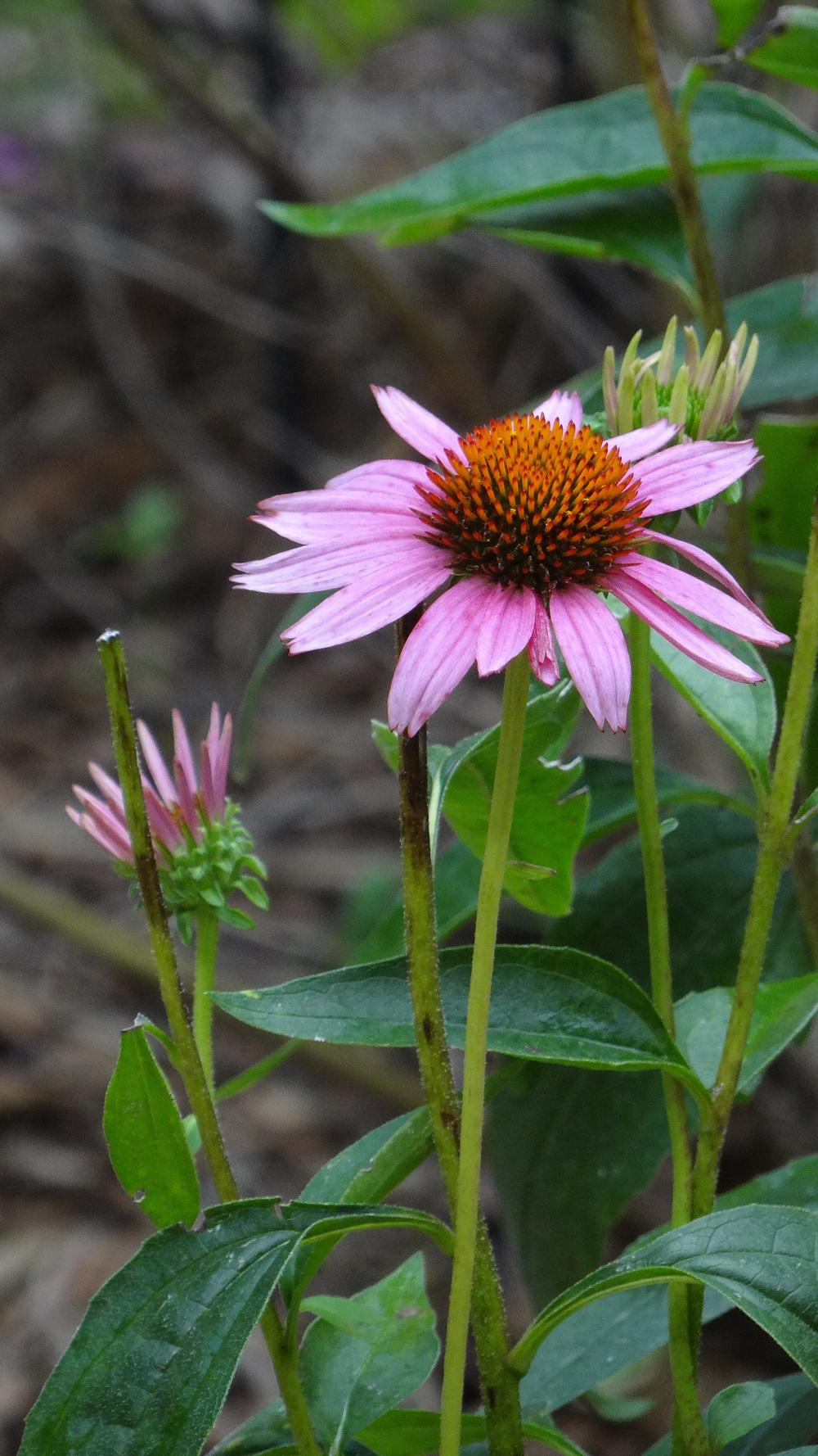 Photo Of The Stem Scape Stalk Or Bark Of Purple Coneflower