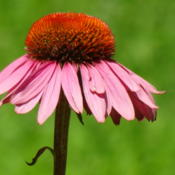 Location: Southeast AlabamaDate: 2013-08-09Coneflower cone in summer