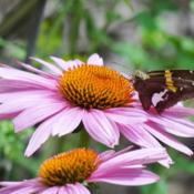 Location: southeast alabamaDate: 2015-08-14#Pollination  Petals of the coneflower!