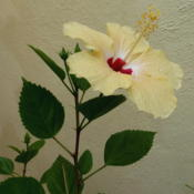 Location: Colima, Colima Mexico (Zone 11)Date: 2015-08-23Tropical Hibiscus rosa-sinensis bloom