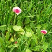 Location: Cedarhome, WashingtonGrowing in lawn for color pop