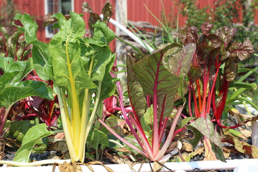 Swiss Chard entire plant