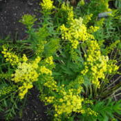 Location: Lincoln NE zone 5Date: 2015-08-28Lovely lemon flowers