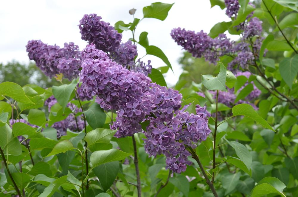 Photo of Common Lilac (Syringa vulgaris 'Pamyati A. T. Smol'skoi') uploaded by Anne