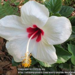 Past Plants Of The Day Forum Of The Day Tropical Hibiscus