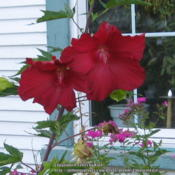 Location: Labour of Love Landscaping & Nursery, Glover, VermontDate: 2015-08-29 Hibiscus moscheutos 'Lord Baltimore'