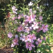 Location: 382 River Road, Pequea, PA 17565Date: August 24, 2015Hibiscus syriacus with five-inch pink flowers