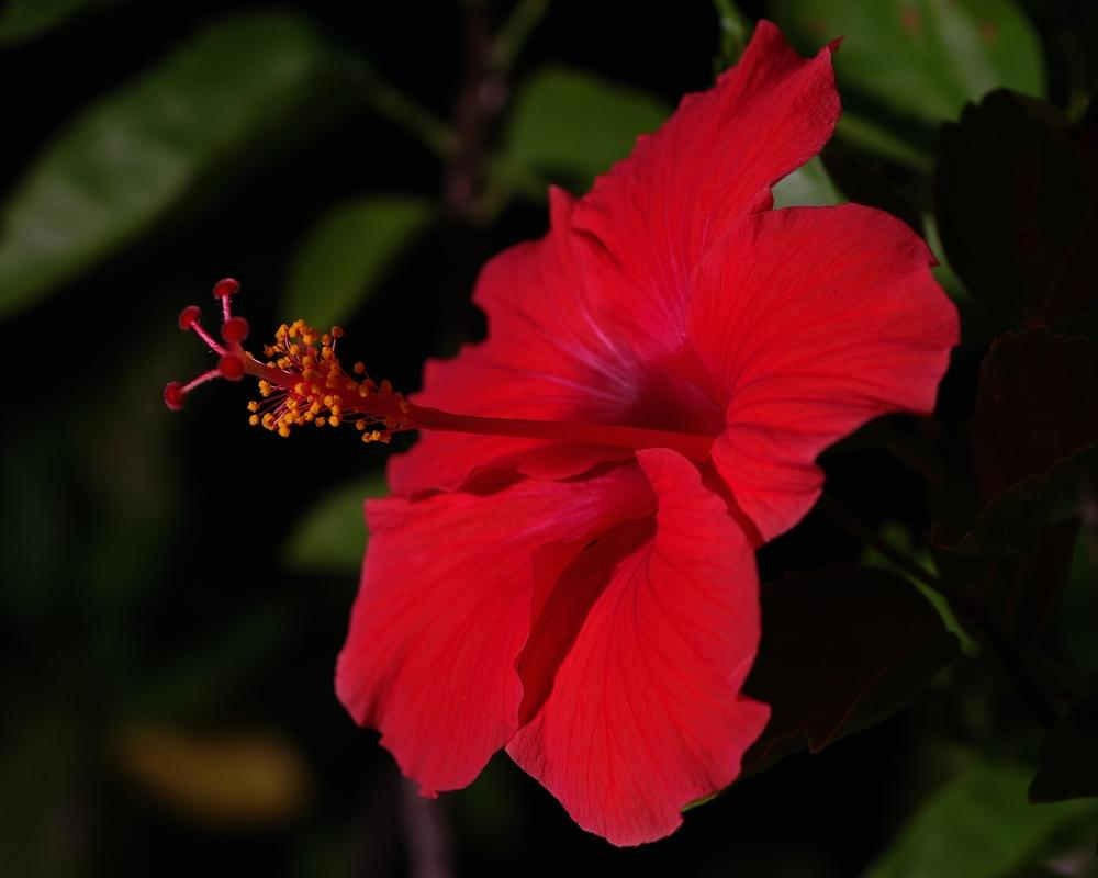 Photo of Tropical Hibiscuses (Hibiscus rosa-sinensis) uploaded by evermorelawnless