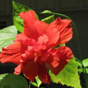 Location: Our yard, Hot Springs Village, ARDate: 2015-06-29Double red hibiscus