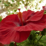 Location: Colima, Colima Mexico (USDA Zone 11)Date: 2014-03-26Tropical Hibiscus rosa-sinensis bloom
