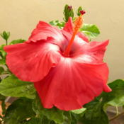 Location: Colima, Colima Mexico (USDA Zone 11)Date: 2014-03-15Tropical Hibiscus (Hibiscus rosa-sinensis) bloom