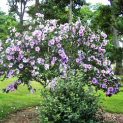 Differences Between The Rose Of Sharon And Hibuscus Knowledgebase
