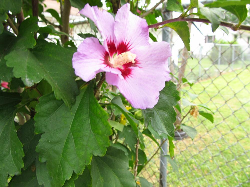 Photo of Roses of Sharon (Hibiscus syriacus) uploaded by jmorth