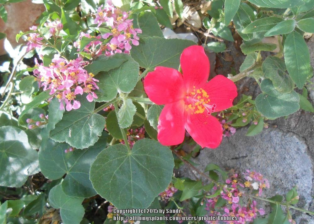 Photo of Heartleaf Hibiscus (Hibiscus martianus) uploaded by Bubbles