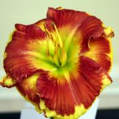 Location: Daylily showDate: 2014-06-27