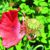 Location: central IllinoisDate: 5-15-12Bee in flight zeroing in on poppy.