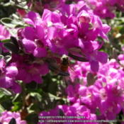Location: Plano, TXDate: 2015-09-02The bees really like this plant.