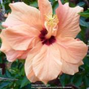 Location: My Garden- VermontDate: 2015-09-02Lost Tag - Double peachy bloom with a bright scarlet ey