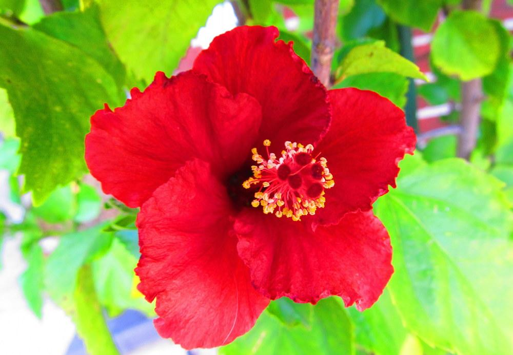 Photo of Hibiscus uploaded by jmorth