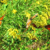 Location: central IllinoisDate: 9-20-11Monarch migration time