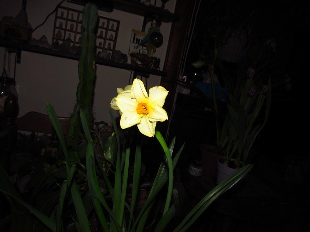 Photo of Small Cupped Daffodil (Narcissus 'Altruist') uploaded by jmorth