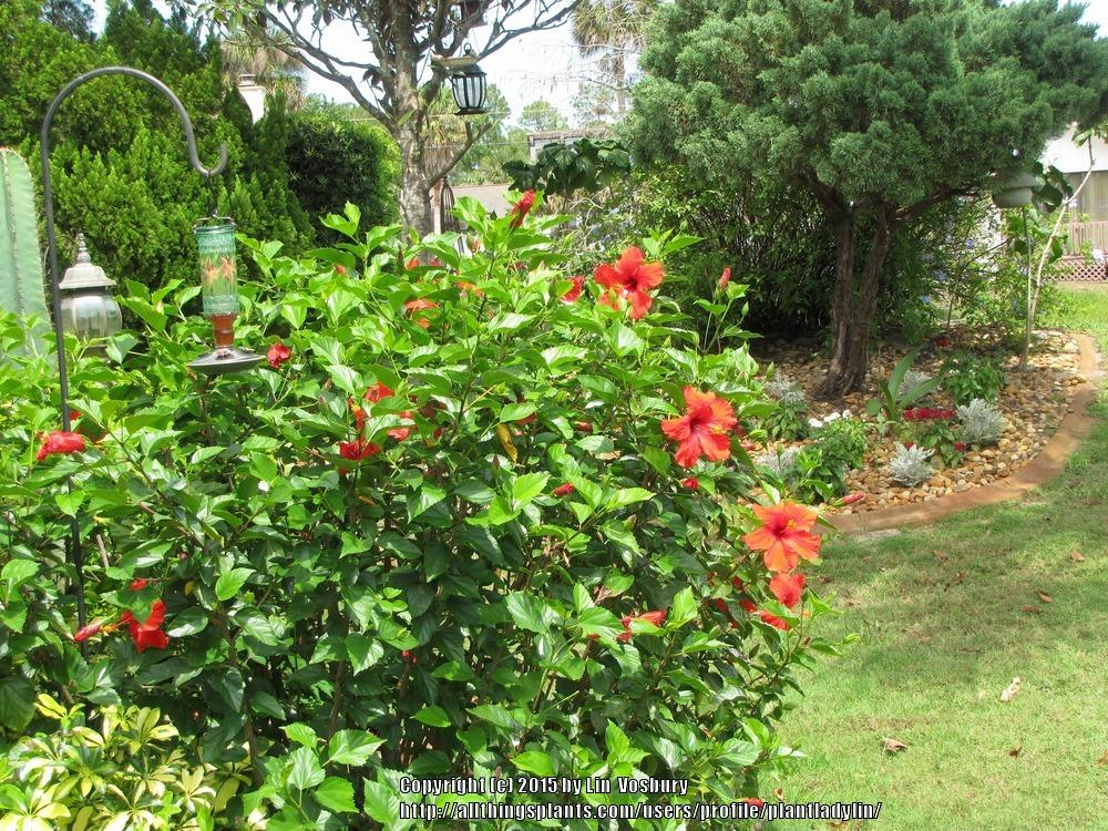 Photo of Tropical Hibiscuses (Hibiscus rosa-sinensis) uploaded by plantladylin