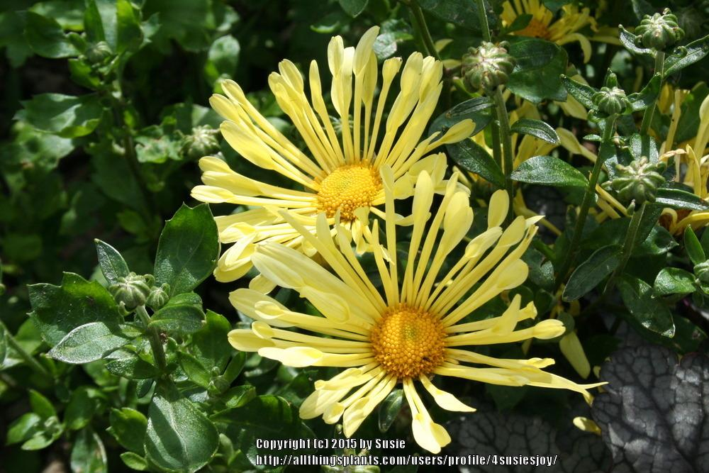 Photo of Mum (Chrysanthemum x morifolium Mammoth™ Yellow Quill) uploaded by 4susiesjoy
