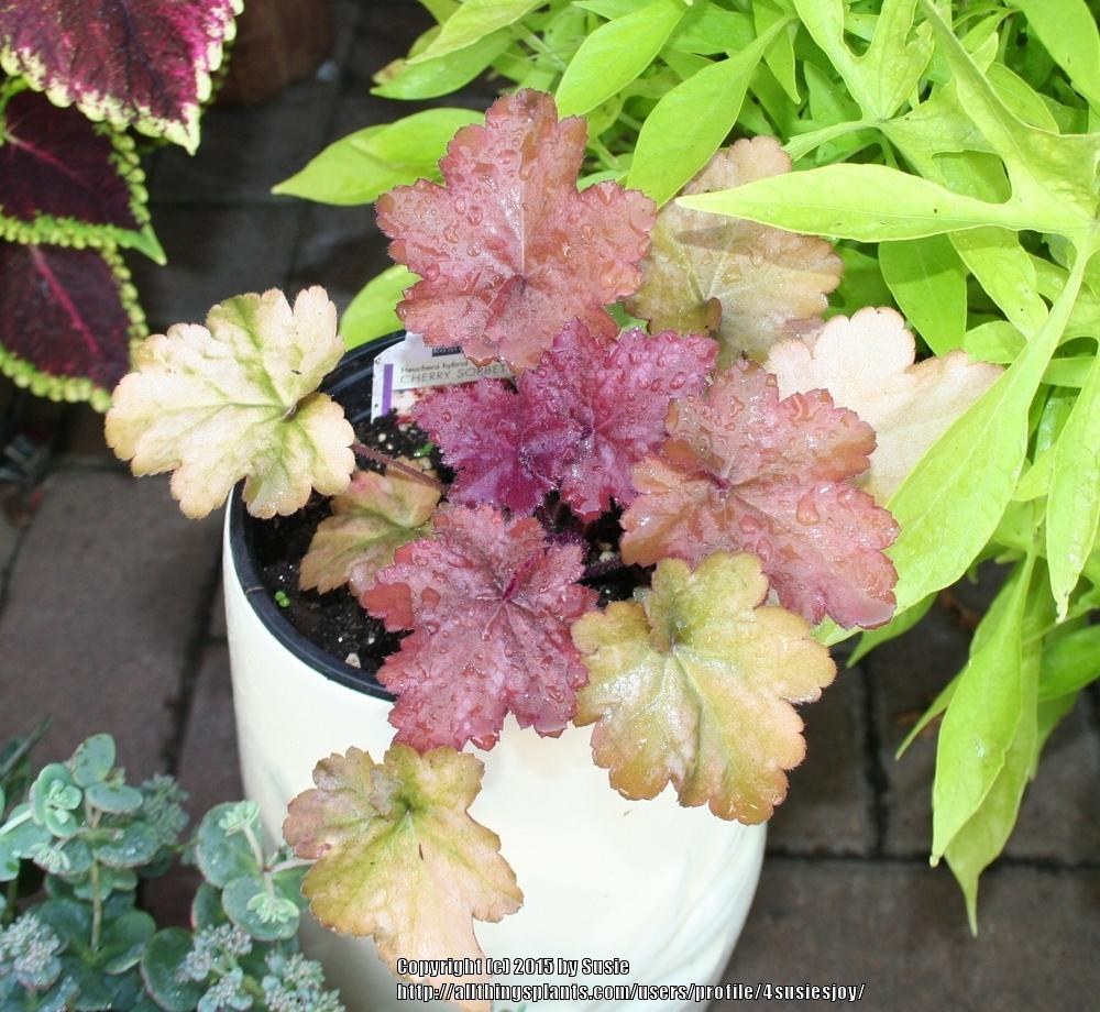 Photo of Coral Bells (Heuchera 'Cherry Sorbet') uploaded by 4susiesjoy