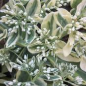 Location: Medina, TNDate: September 2015Sedum 'Frosty Morn' displays its bright variegation and flower bu