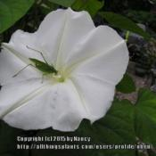 Location: Mum and Dad's house, Brockton, MAMum's Moonflower