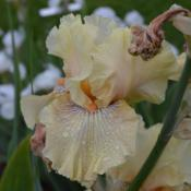 Location: Mt. Pleasant Iris in WADate: 2015-05-13