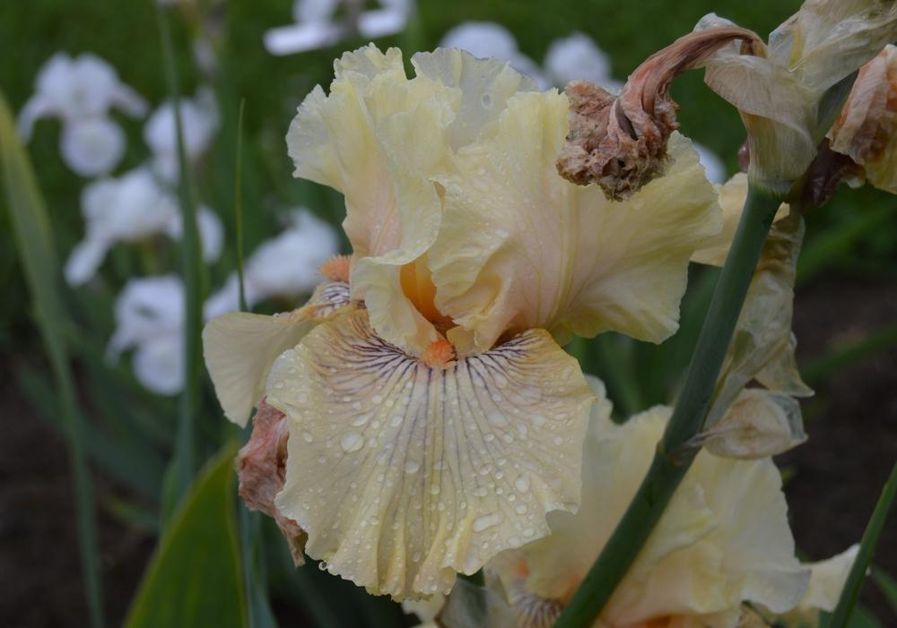 Photo of Tall Bearded Iris (Iris 'Cotillion Gown') uploaded by KentPfeiffer