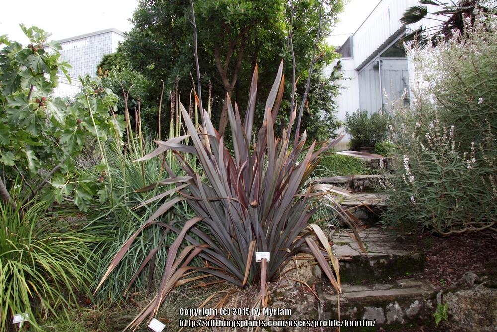 Photo of New Zealand Flax (Phormium tenax) uploaded by bonitin