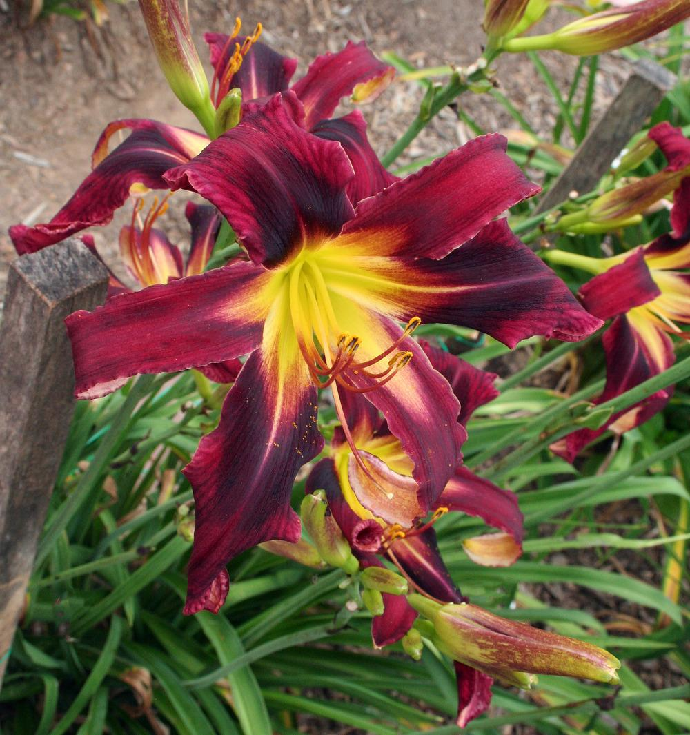 Photo of Daylily (Hemerocallis 'Purple Crab Legs') uploaded by floota