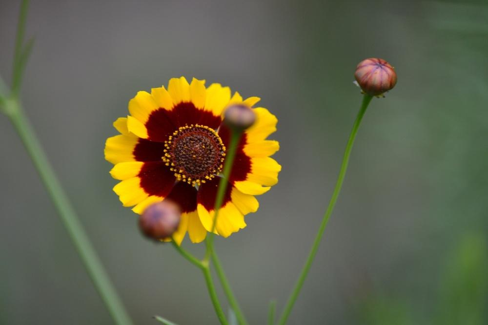 Photo of Tickseed (Coreopsis) uploaded by jenniferatemple