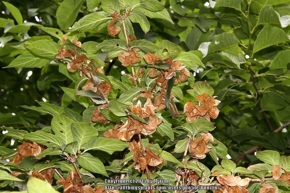 Photo of Boxleaf Honeysuckle (Linnaea yunnanensis) uploaded by bonitin