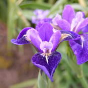 Location: Mt. Pleasant Iris in WADate: 2015-05-15