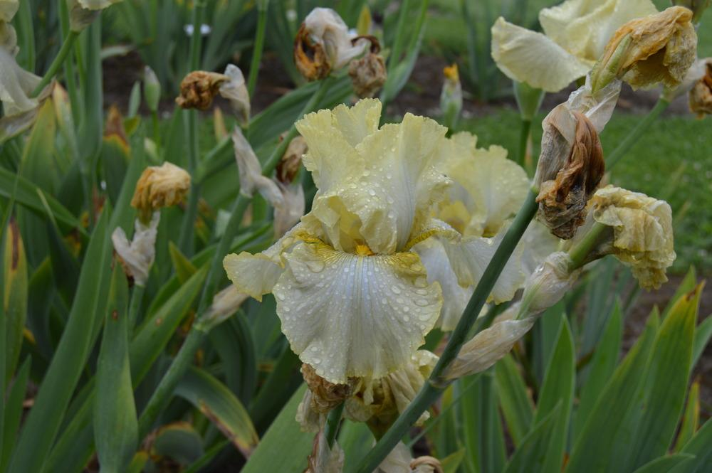 Photo Of The Bloom Of Tall Bearded Iris (Iris 'Easy Being