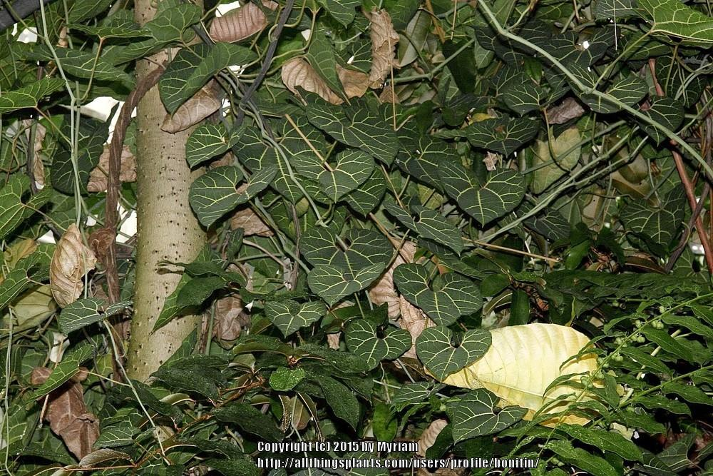 Photo of Aristolochia (Aristolochia leuconeura) uploaded by bonitin